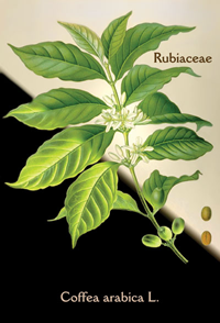 Coffea Arabica L., modified from a 1889 original